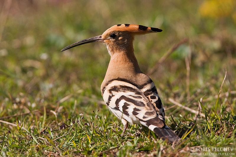 essay on hoopoe bird Birds English Essay- Short Essay On Birds For Kids